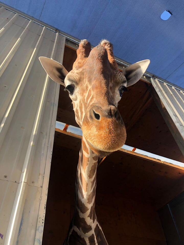 Giraffe named Ozzie sticking its head out from the corral