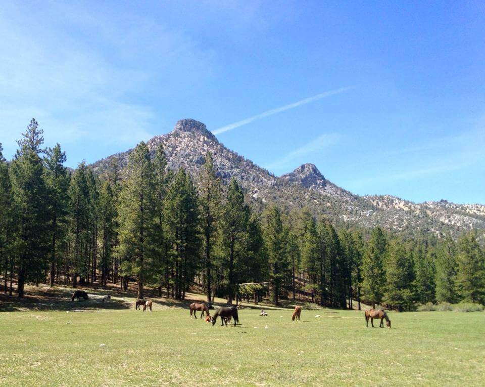 wild horses graze in an open field at Mt Charleston