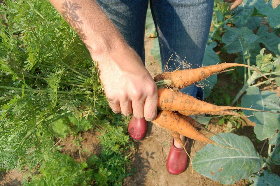 gardener pulls three fresh carrots from garden